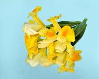 A íris amarela floresce na luz - fundo azul do vintage imagem de stock