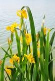 Íris amarela (pseudacorus da íris) fotografia de stock