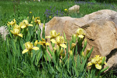 Íris amarelas Imagem de Stock Royalty Free