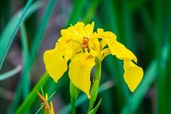 Íris amarelas contra o fundo da natureza do borrão Esta é uma íris selvagem - torne iridescente o pseudacorus ou a bandeira amare Imagem de Stock