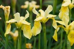 Íris amarelas na chuva Imagem de Stock