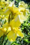Íris amarelas no jardim Fotografia de Stock