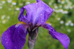 Íris após a chuva Torne iridescente a flor com gotas da chuva nas pétalas Flores frescas delicadas Imagem de Stock