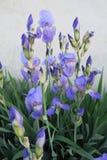 Íris azuis maravilhosas em junho Foto de Stock