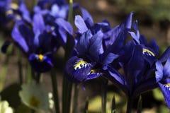Íris azuis violetas minúsculas - flores da mola do pigmeu que florescem no jardim Reticulata da íris ou íris de anão, Iridaceae,  fotos de stock
