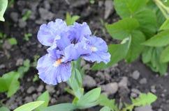 Íris azul bonita Fotografia de Stock