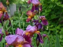 Íris bonitas das flores no jardim verde imagem de stock