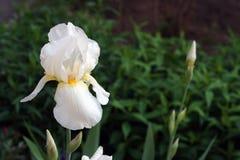 Íris branca bonita imagens de stock