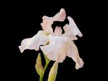 Íris branca na flor Fotografia de Stock