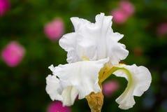 Íris branca no jardim home Imagens de Stock Royalty Free