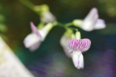 Íris cor-de-rosa da floresta Fotografia de Stock Royalty Free