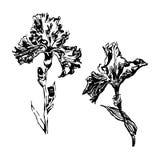 A íris da imagem floresce a ilustração do esboço ilustração stock