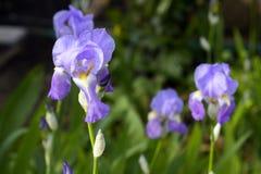 Íris de Liliac na flor completa Imagens de Stock Royalty Free