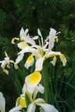 Íris encoberta (Iris Spurio) Imagens de Stock
