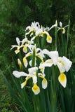 Íris encoberta (Iris Spurio) Fotografia de Stock Royalty Free