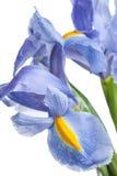 íris Flor bonita no fundo claro Fotografia de Stock