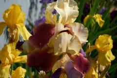 Íris no jardim Fotos de Stock Royalty Free