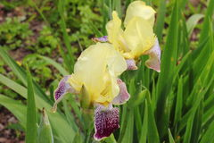 Íris no jardim Flores Fotografia de Stock Royalty Free