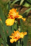 Íris que florescem em um jardim, dell& x27 de Giardino; Íris em Florença imagens de stock