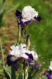 Íris que florescem em um jardim, dell& x27 de Giardino; Íris em Florença Fotos de Stock Royalty Free