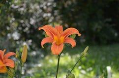 Íris selvagem na flor completa Imagens de Stock Royalty Free