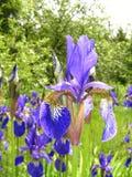 Íris violeta Imagens de Stock