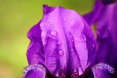 Íris violeta com gotas do orvalho Imagem de Stock Royalty Free