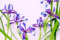 Íris violetas no fundo cor-de-rosa Foto de Stock