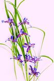 Íris violetas no fundo cor-de-rosa Fotografia de Stock Royalty Free