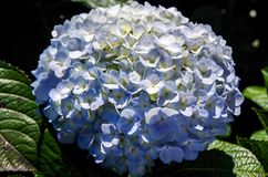 Blue hydrangea. ít`s blue and purple hydrangea, grow and somewhere  in the tropics Stock Photos