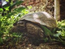 Άγρια χελώνα σε έναν πράσινο κήπο μεταξύ της χλόης στοκ εικόνες