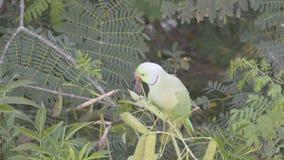 Άγριος αυξήθηκε Ringed Parakeet - τρώγοντας φιλμ μικρού μήκους