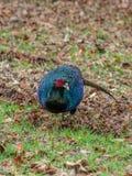 Άγριος melanistic φασιανός μεταλλάξεων, colchicus Phasianus Peebles, Σκωτία στοκ φωτογραφίες με δικαίωμα ελεύθερης χρήσης