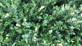 Άγριο privet Ligustrum vulgare, κοινό privet, ευρωπαϊκές εγκαταστάσεις privet στον κήπο στενά πράσινα φύλλα επάνω φιλμ μικρού μήκους