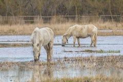 Άλογα του Camargue στο φυσικό πάρκο των ελών Ampurdà ¡ ν στοκ εικόνες