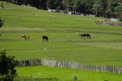 Άλογα που βόσκουν στα μεγάλα βουνά Καύκασου, Γεωργία στοκ εικόνες