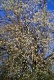 Άνθος οπωρωφόρων δέντρων: άνθη κερασέων προυμνών βύσσινων την άνοιξη, δέντρο κερασιών στην άνθιση στοκ εικόνες