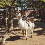 Άσπρα και καφετιά llamas στο μικρό ζωολογικό κήπο στοκ εικόνες