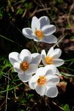 Άσπρα λουλούδια κρόκων άνοιξη στο σκοτεινό υπόβαθρο στοκ εικόνες
