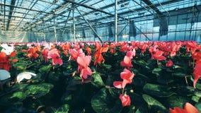 Άσπρα, ρόδινα και κόκκινα λουλούδια που αυξάνονται στην πρασινάδα απόθεμα βίντεο