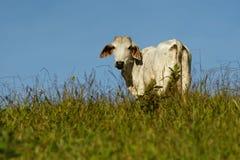 Άσπρη αγελάδα στη βοσκή στη Κόστα Ρίκα, τα πράσινους λιβάδια και τους τομείς στην Κεντρική Αμερική με τις καλύτερες φυλές των βοο στοκ φωτογραφία με δικαίωμα ελεύθερης χρήσης