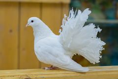 Άσπρη συνεδρίαση ουρών ανεμιστήρων περιστεριών στο φράκτη στο ζωολογικό κήπο Όμορφο άσπρο περιστέρι της ειρήνης στοκ εικόνες με δικαίωμα ελεύθερης χρήσης