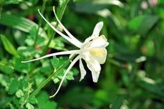 Άσπρη φωτογραφία αποθεμάτων κηπουρικής λουλουδιών Columbine στοκ φωτογραφίες με δικαίωμα ελεύθερης χρήσης
