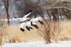 Άσπρη χήνα χιονιού στοκ φωτογραφίες με δικαίωμα ελεύθερης χρήσης