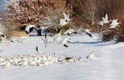 Άσπρη χήνα χιονιού στοκ φωτογραφία με δικαίωμα ελεύθερης χρήσης