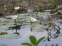 Άσπροι κρίνοι νερού, λίμνη με τα πράσινα φύλλα στοκ εικόνα με δικαίωμα ελεύθερης χρήσης