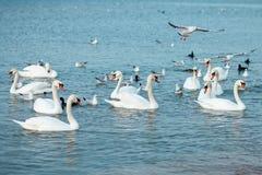 Άσπροι κύκνοι στη θάλασσα wildlife ωκεανός στοκ εικόνα