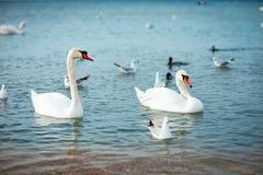 Άσπροι κύκνοι στη θάλασσα wildlife ωκεανός στοκ φωτογραφία με δικαίωμα ελεύθερης χρήσης