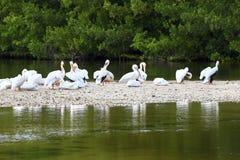 Άσπροι πελεκάνοι στο φράγμα άμμου σε εκβολή ποταμού στοκ φωτογραφία