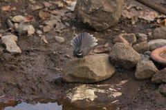 Άσπρος-επισημασμένο fantail, albogularis Rhipidura, κοιλάδα Sinhagad, περιοχή Pune, Maharashtra, Ινδία στοκ φωτογραφίες